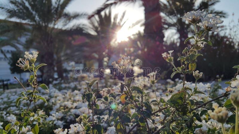 Tramonto attraverso i fiori bianchi fotografia stock