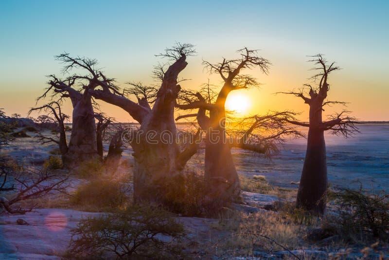 Tramonto con il boabab africano, isola di Kubu, Botswana fotografia stock libera da diritti