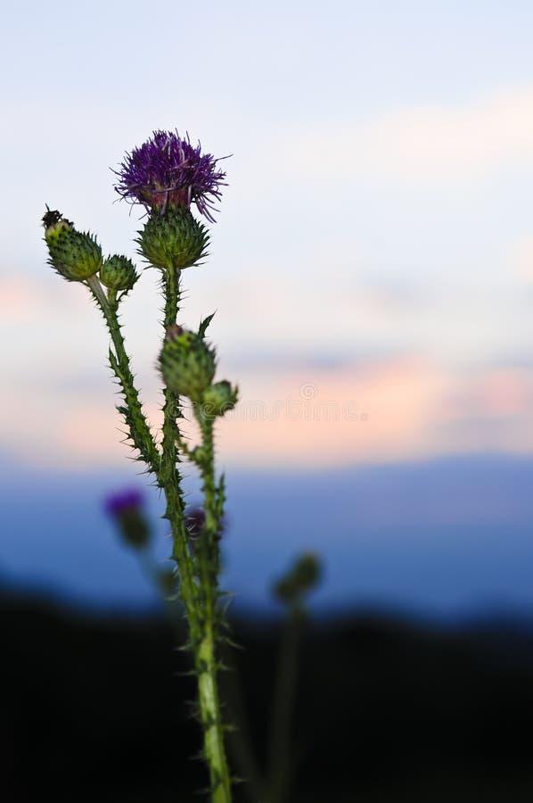 Tramonto con il fiore del cardo selvatico immagini stock