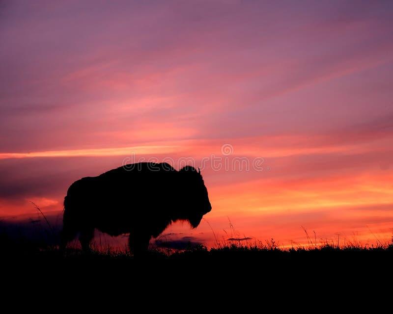 Tramonto del bisonte immagine stock libera da diritti