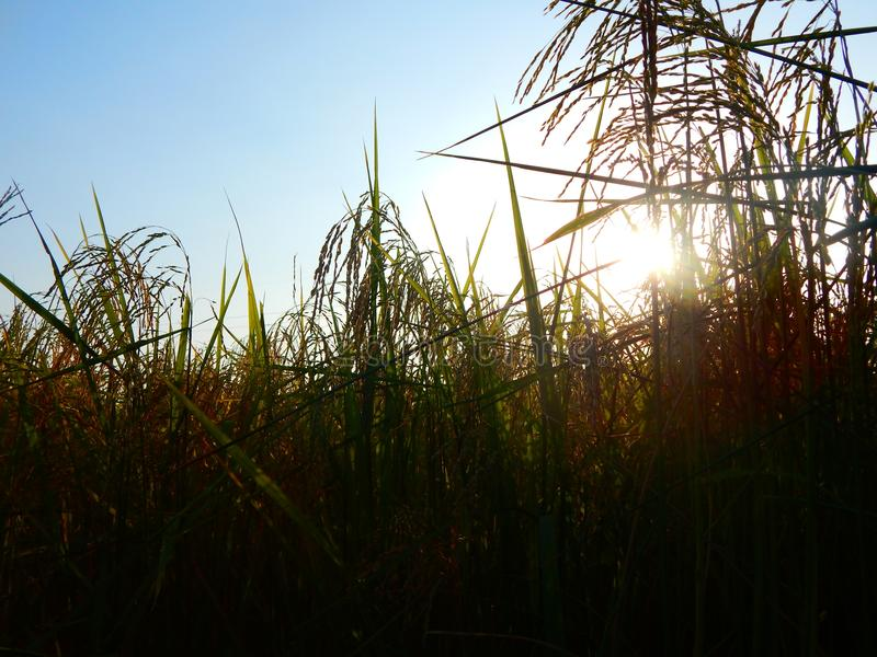 Tramonto del giacimento del riso fotografie stock