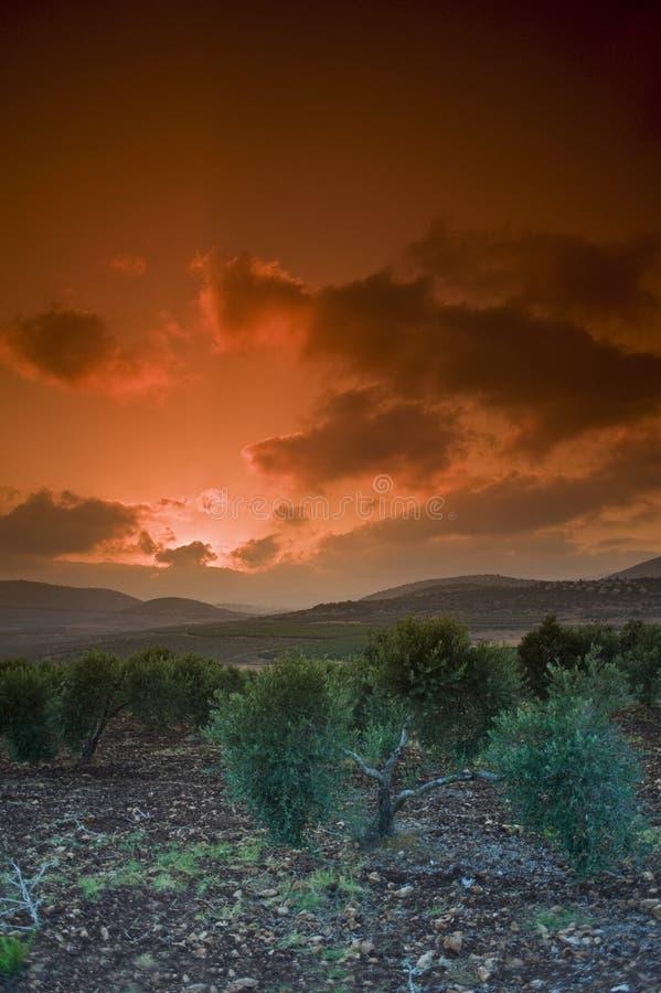 Tramonto dell'oliveto fotografie stock libere da diritti