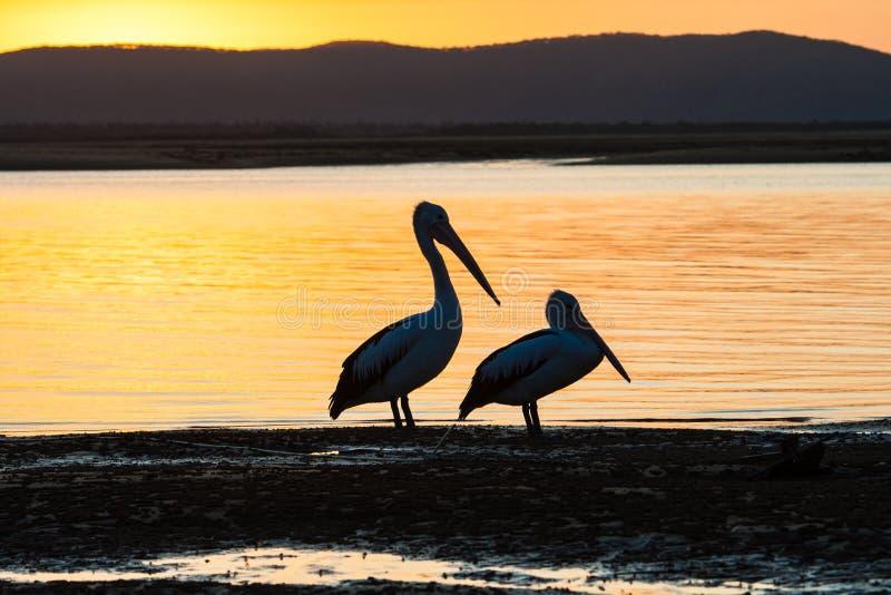 Tramonto della laguna degli uccelli del pellicano fotografia stock libera da diritti