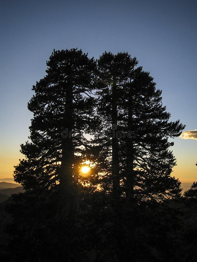 Tramonto della siluetta dei pini flessuosi immagini stock