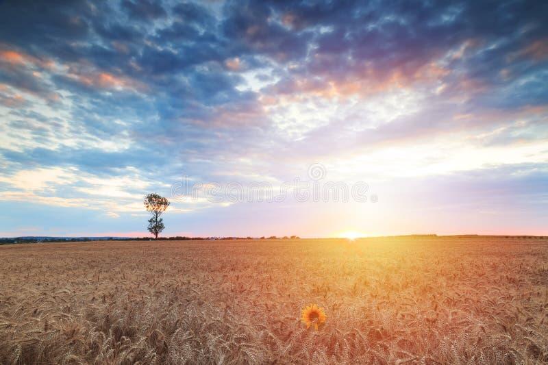 Tramonto di estate con il cielo spettacolare sopra un giacimento di grano fotografia stock libera da diritti