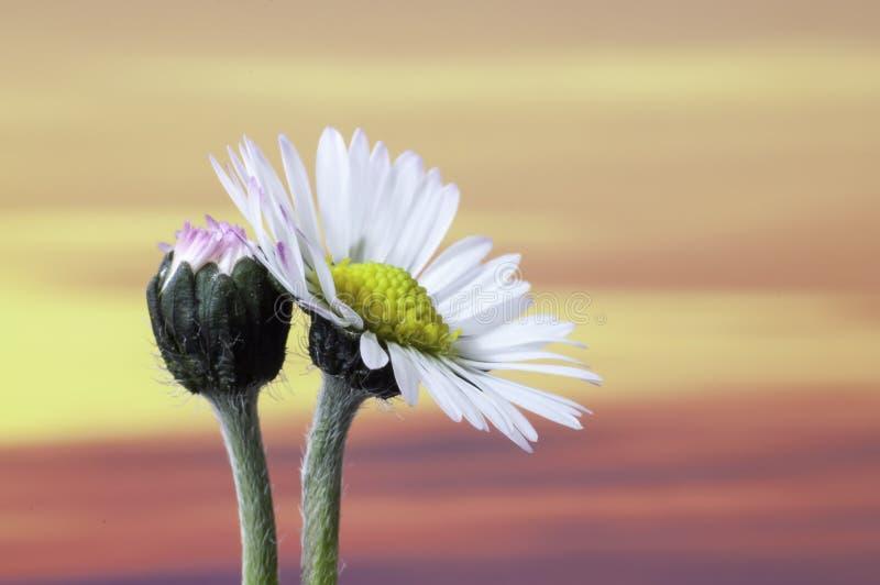 Tramonto di perennis del Bellis del fiore della margherita comune fotografia stock