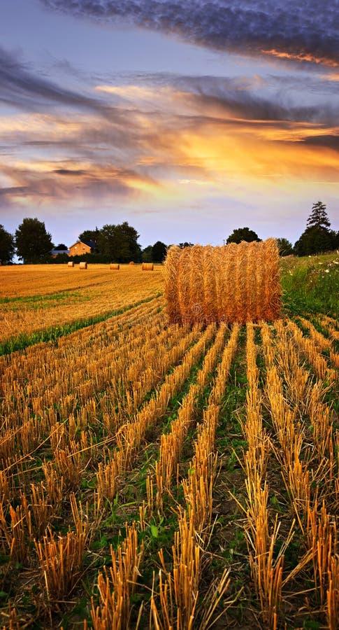 Tramonto dorato sopra il campo dell'azienda agricola immagini stock libere da diritti
