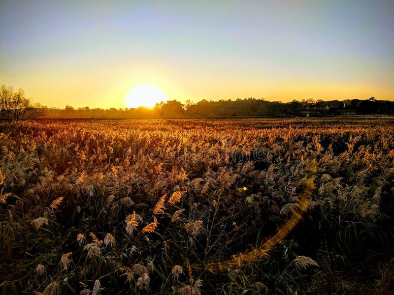 Tramonto dorato sopra le erbe della palude fotografia stock libera da diritti