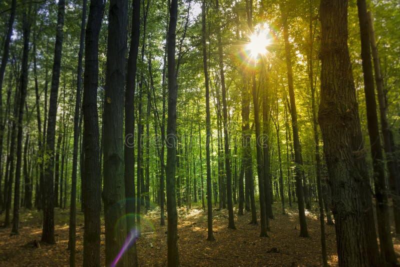 Tramonto nella foresta dell'ontano fotografie stock