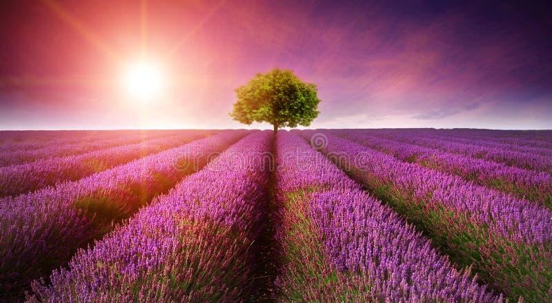 Tramonto sbalorditivo di estate di paesaggio del giacimento della lavanda con il singolo albero immagini stock libere da diritti