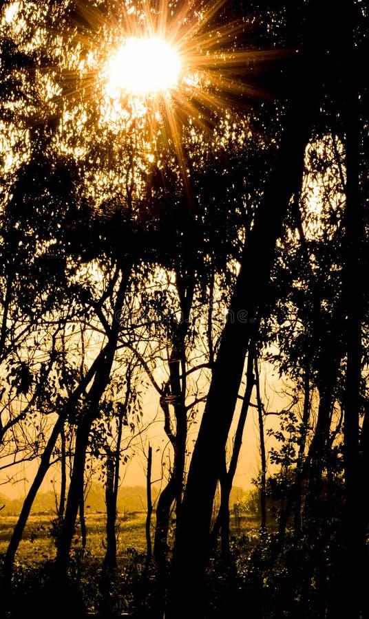 Download Tramonto Starburst In Foresta Immagine Stock - Immagine di struttura, albero: 56890647