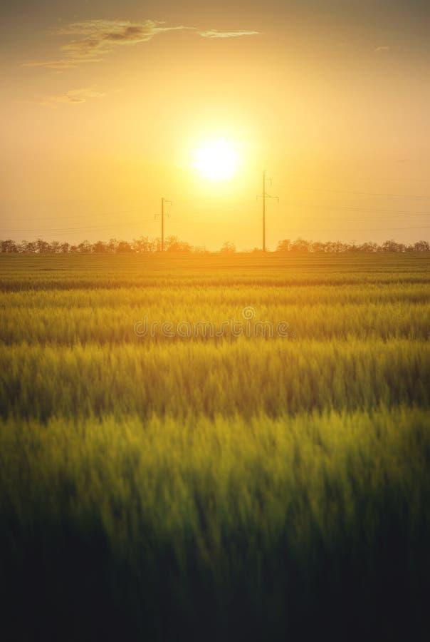 Tramonto su un giacimento di grano verde con le linee elettriche immagine stock
