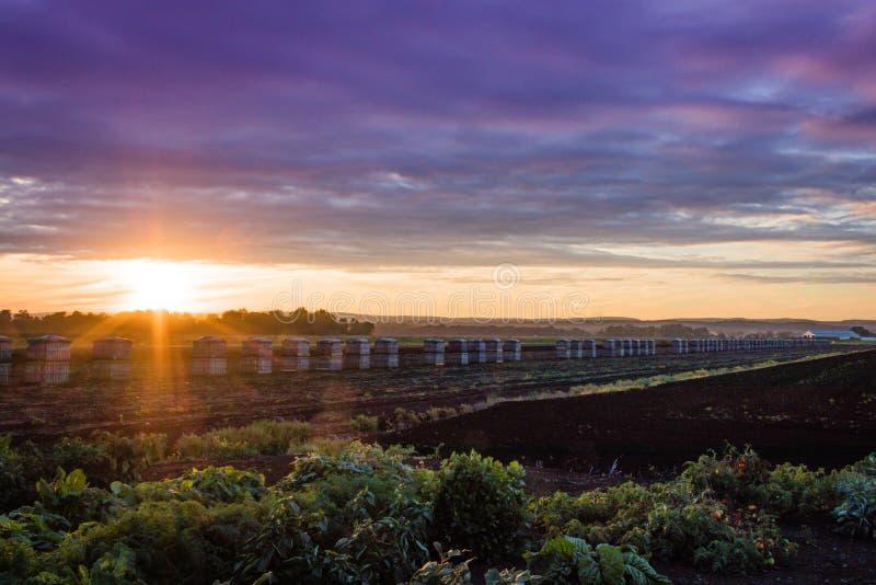 Tramonto ultravioletto drammatico di estate sopra le casse di legno della cipolla dell'azienda agricola fotografie stock libere da diritti
