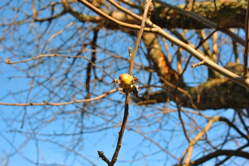Tramos vacíos de la manzana con la sola manzana amarilla y la hoja putrefactas, secas, fondo soleado del cielo fotos de archivo