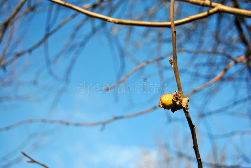 Tramos vacíos de la manzana con la sola manzana putrefacta, seca amarilla y ascendente de la hoja, soleado fondo cercano del ciel imagen de archivo