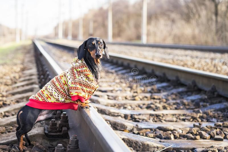 Tramp dog of the dachshund breed, black and tan, dressed in a sweater stands on rails on the railway.  stock photos