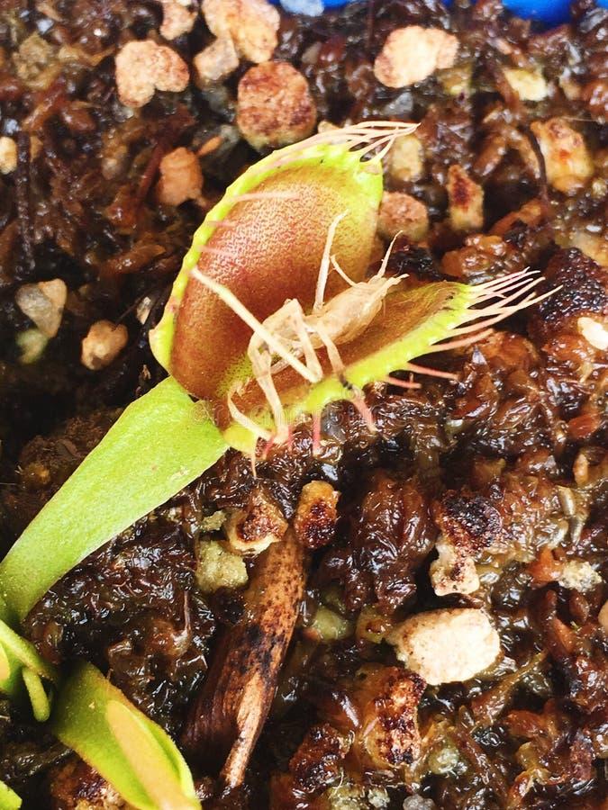 Trampa de la mosca de Venus fotos de archivo