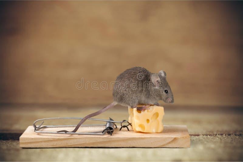Trampa del ratón foto de archivo libre de regalías