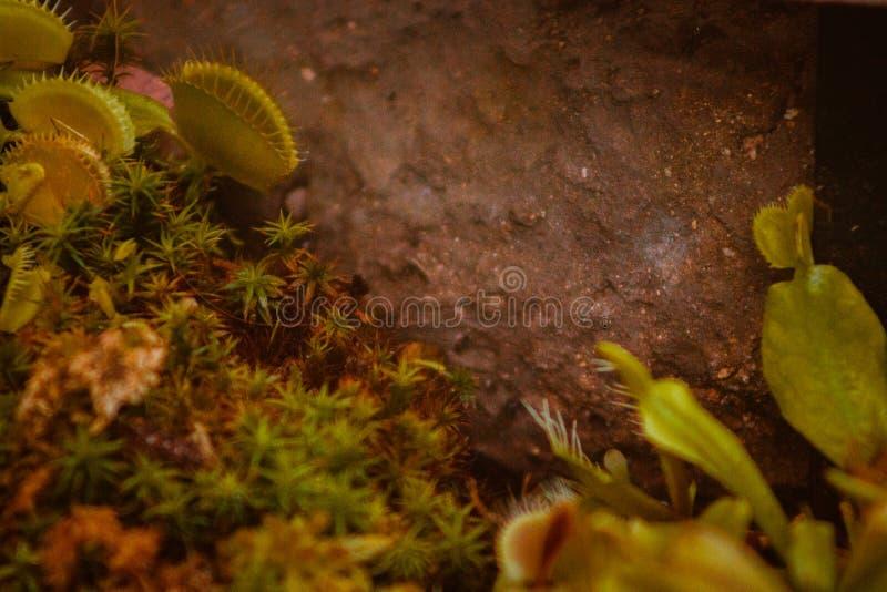 Trampas de la mosca de Venus en Frederik Meijer Gardens imagen de archivo libre de regalías
