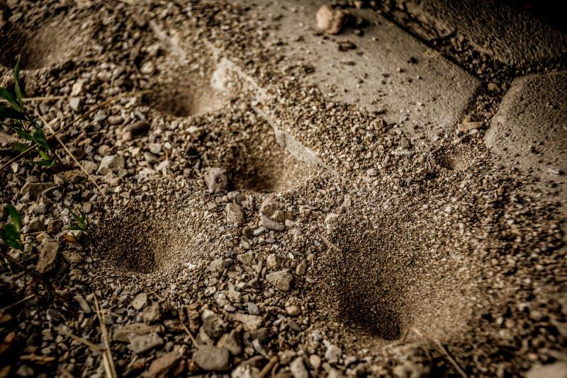Trampas del hoyo de arena del Antlion foto de archivo