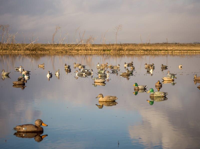 Trampas del pato foto de archivo libre de regalías