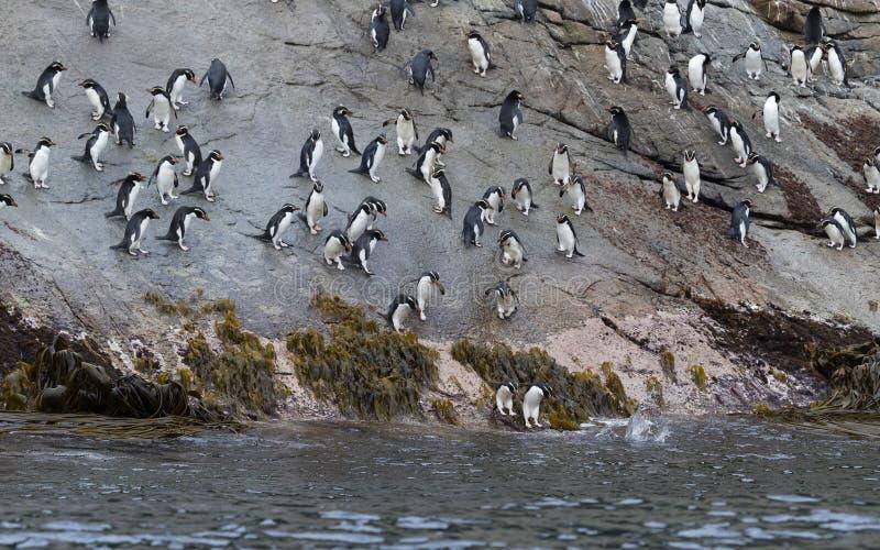 Trampas pingüino, robustus del Eudyptes imágenes de archivo libres de regalías