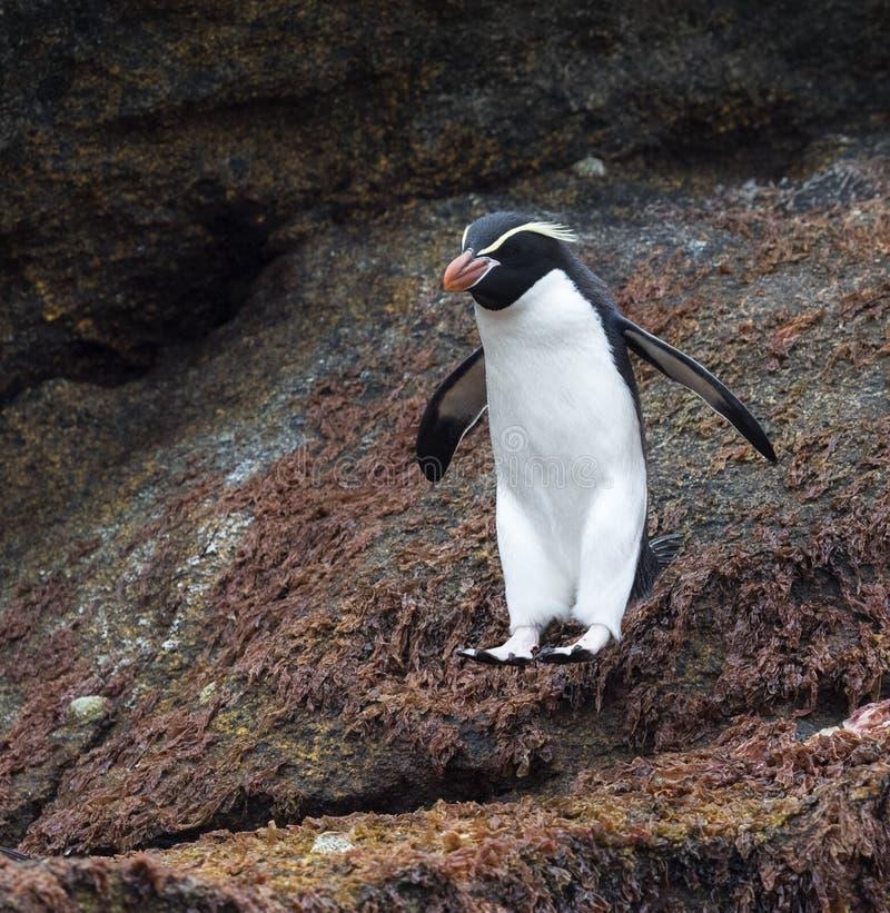 Trampas pingüino, robustus del Eudyptes foto de archivo libre de regalías