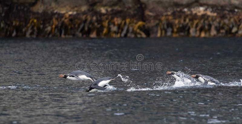 Trampas pingüino, robustus del Eudyptes foto de archivo