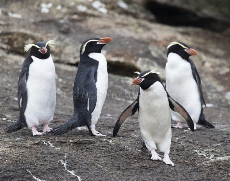 Trampas pingüino, robustus del Eudyptes fotografía de archivo