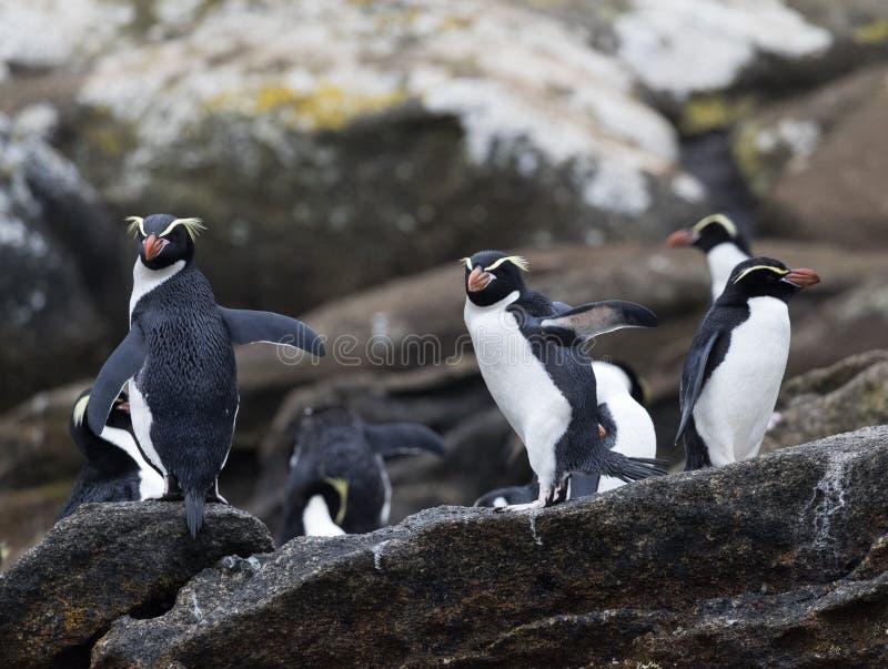Trampas pingüino, robustus del Eudyptes fotos de archivo libres de regalías