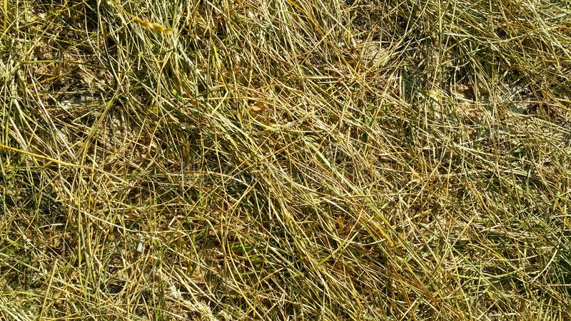 The trampled grass is yellow-green, Golden and brown texture. In the forest underfoot bent straw stock photography