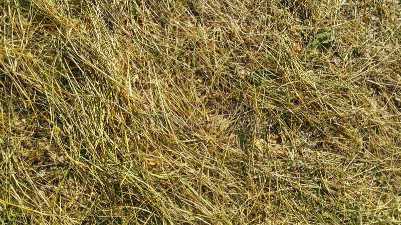 The trampled grass is yellow-green, Golden and brown texture. In the forest underfoot bent straw royalty free stock photos