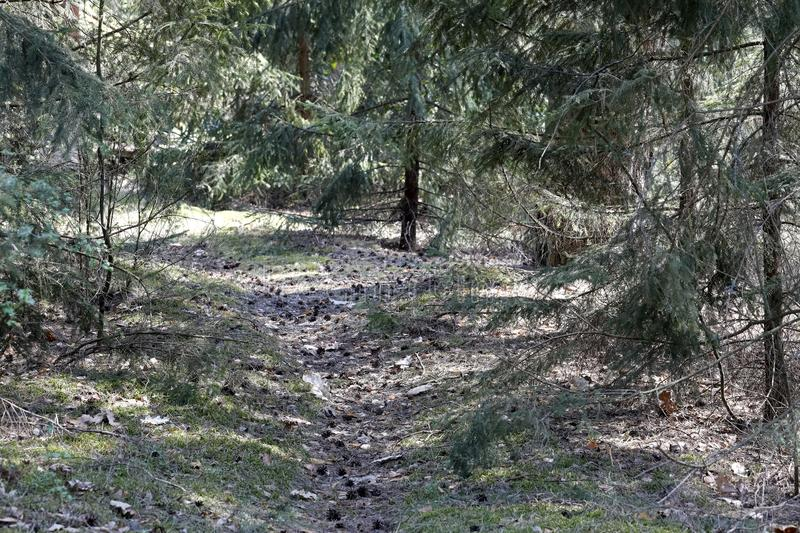 The trampled path leads through the forest. The trampled path among pine trees leads through the forest. This is somewhere in woodlands nearby to village which royalty free stock photo