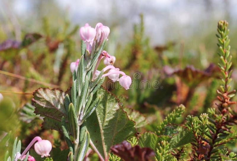 Tranbärblommor royaltyfria foton