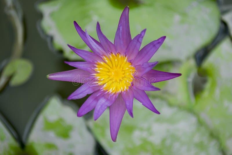 Trang Thailand April 5,2016 Den härliga purpurfärgade lotusblomman på den gröna bakgrunden royaltyfria foton