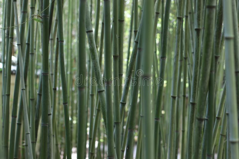 Tranquil Bamboo in the Japanese Garden stock image