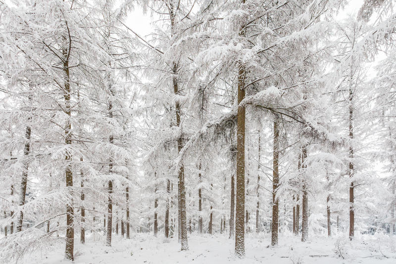 Tranquil Dutch winter forest royalty free stock photo