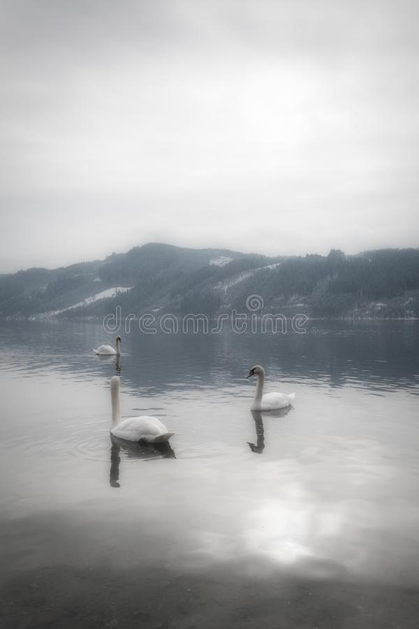 A tranquil and mystical landscape with graceful swans in the water and mountains with snow in the background on a peaceful morning. In Austria royalty free stock images