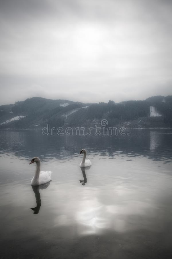 A tranquil and mystical landscape with graceful swans in the water and mountains with snow in the background on a peaceful morning. In Austria royalty free stock photo
