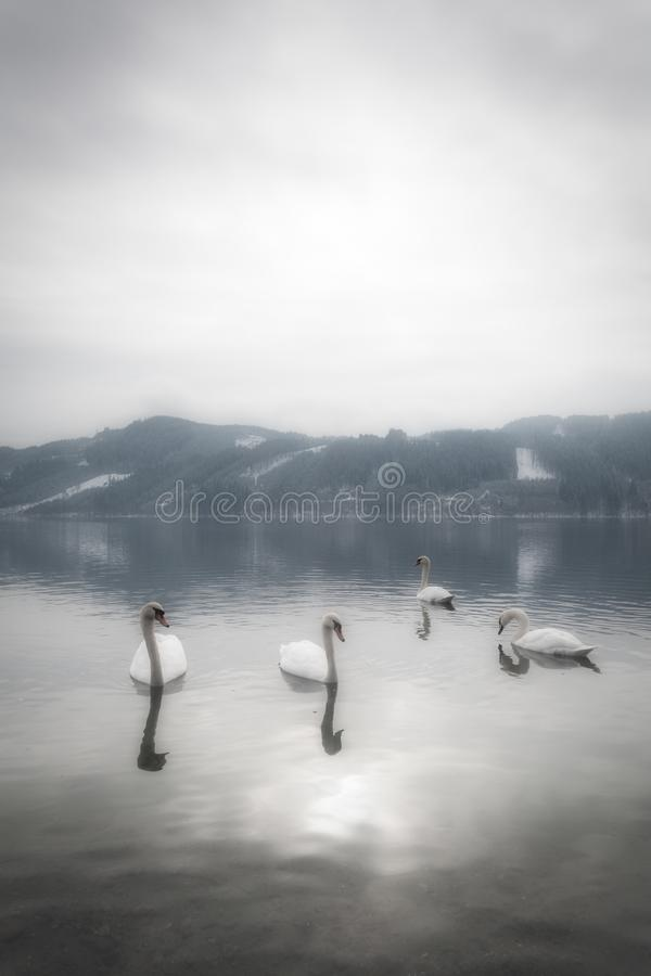 A tranquil and mystical landscape with graceful swans in the water and mountains with snow in the background on a peaceful morning. In Austria stock images