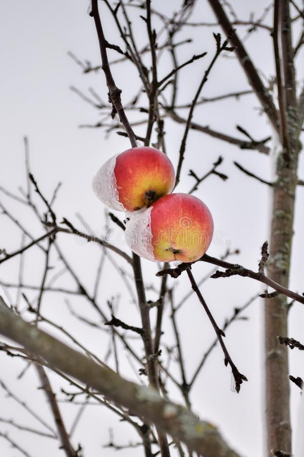 Tranquil rural scene of a snowcapped ripe apples covered with thick snow are hanging on a branch. Snowcapped ripe apples covered with thick snow after blizzard stock photography