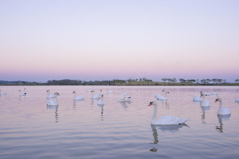 Tranquil scene group of swans swimming in nature lake in morning.swans background with reflection swans are peach and love symbol stock images
