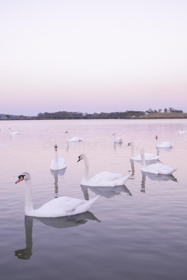 Tranquil scene group of swans swimming in nature lake in morning.swans background with reflection swans are peach and love symbol royalty free stock images