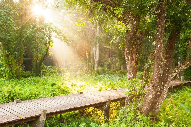 A tranquil wooden boardwalk through a swamp in the morning stock image