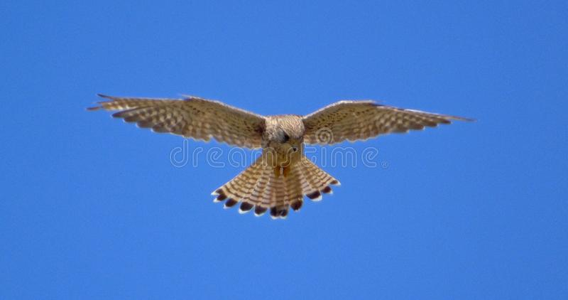 The tranquility of flight. A kestrel hovering in the sky in search of its next prey, with the suns light shining through its feathers illuminating all the detail stock photo