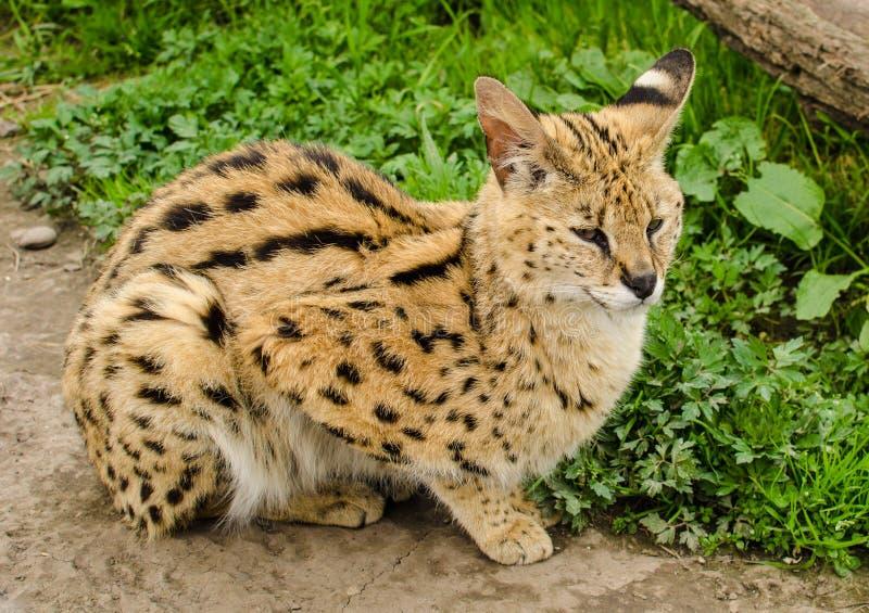 Tranquillement Lynx photos stock