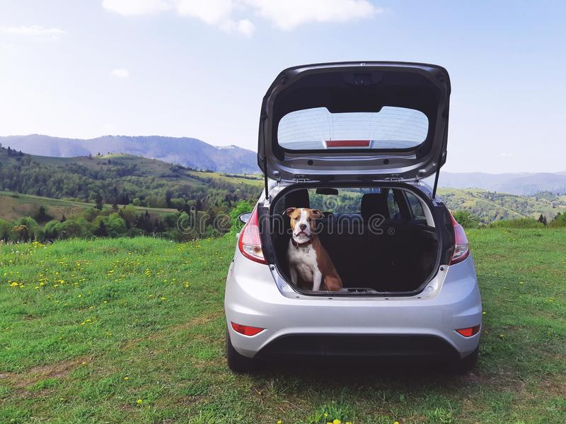 Trans. av hundkapplöpning på en tur Hund i stammen av en bil arkivbilder