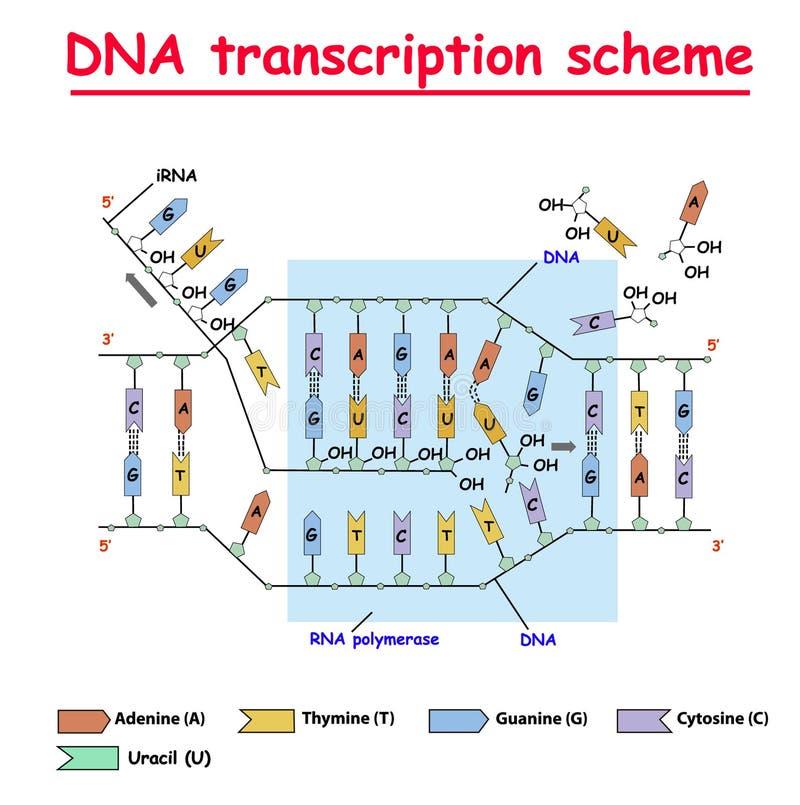 Transcrição do ADN Colore da hélice dobro da estrutura do ADN e do RNA no fundo branco Nucleotide, fosfato, açúcar, e bases Educa ilustração do vetor
