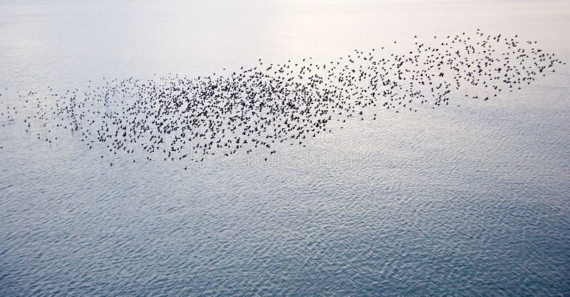 Transfert normal des starlings européens images stock