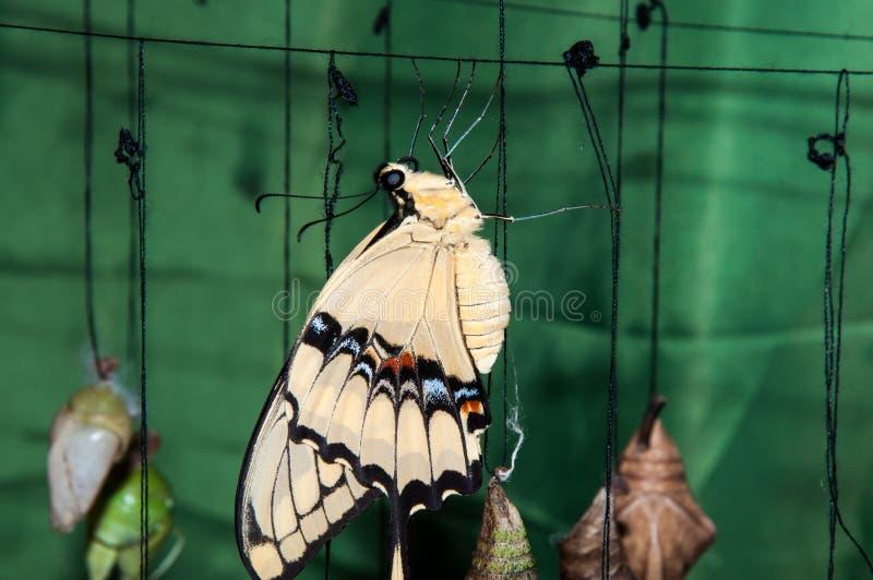 Transformación de la crisálida al velero de la mariposa foto de archivo